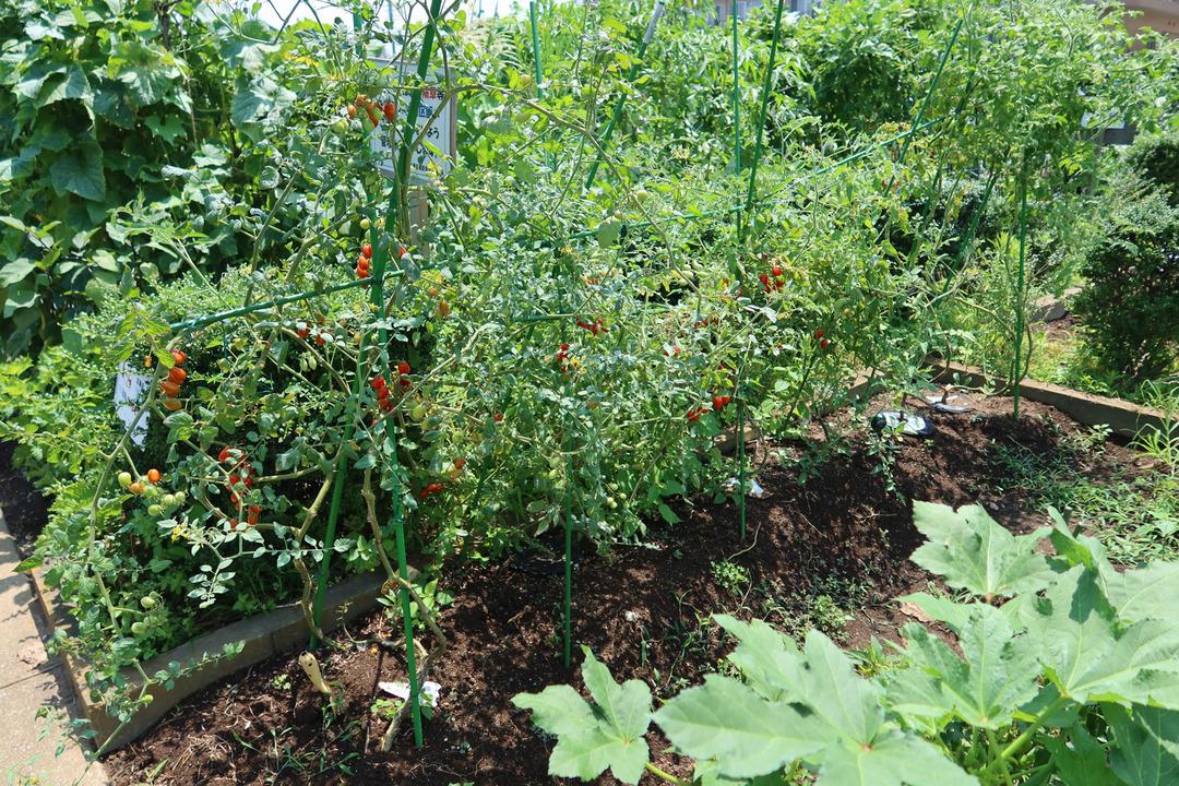 小さな畑のミニトマトやオクラ (1)