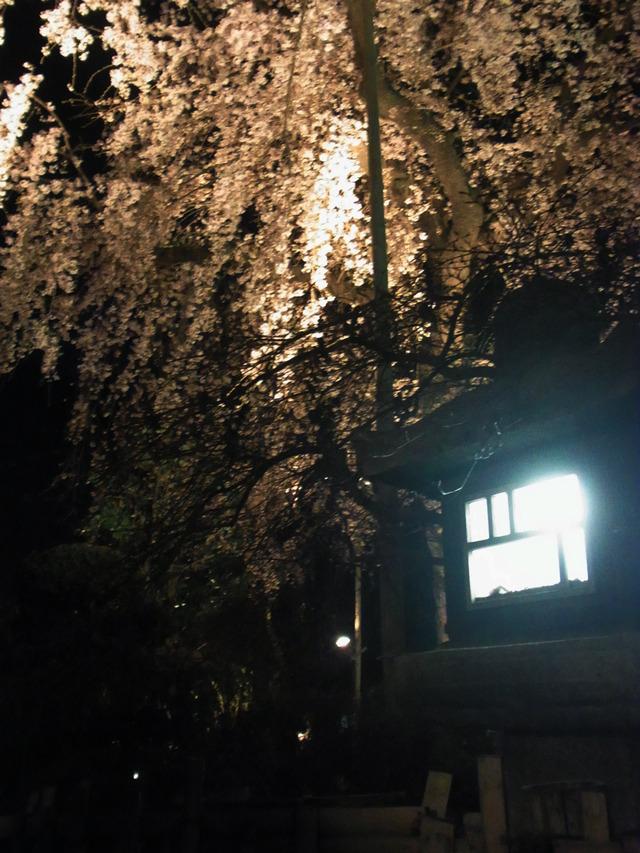 2012桜 (13)