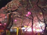 洗足池の桜2