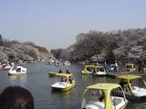 井の頭公園の池と桜とボート