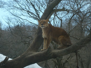 気に登るライオン