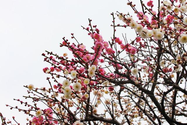 亀戸天神社 (67)