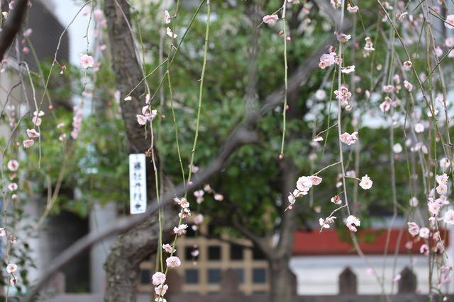 亀戸天神社 (29)