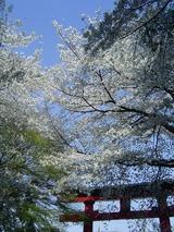 大宮八幡宮の桜5