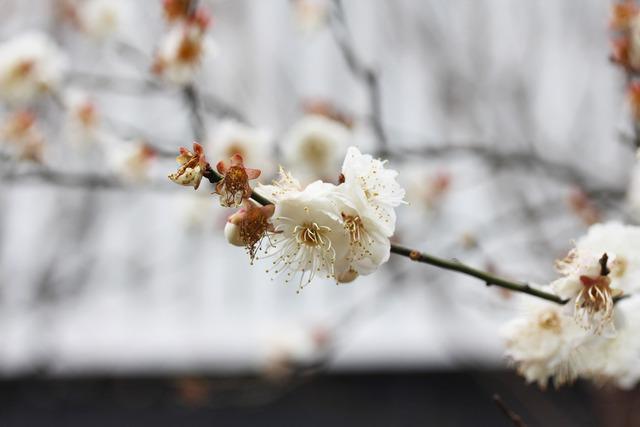 亀戸天神社 (49)