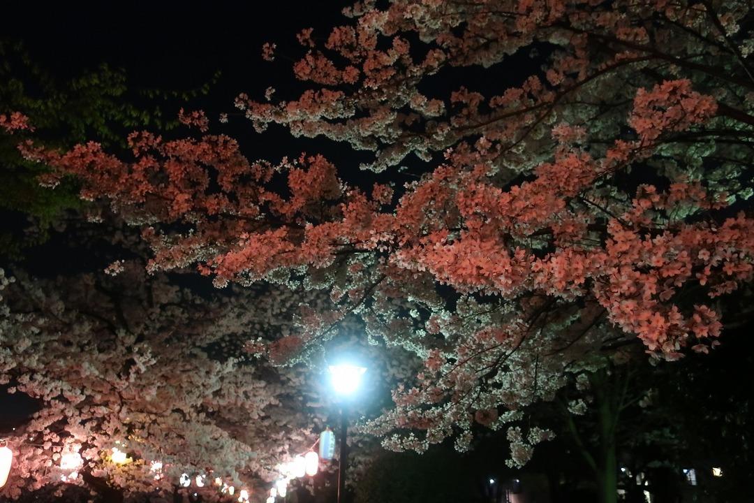 夜の桜 (6)