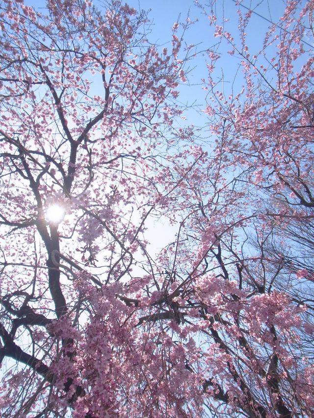 2012桜 (2)