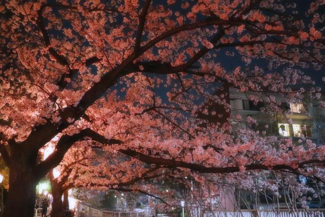 仙台堀川公園桜まつり,jpg (4)