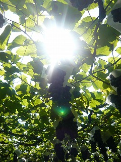 太陽と葡萄