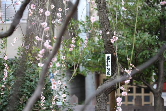 亀戸天神社 (28)