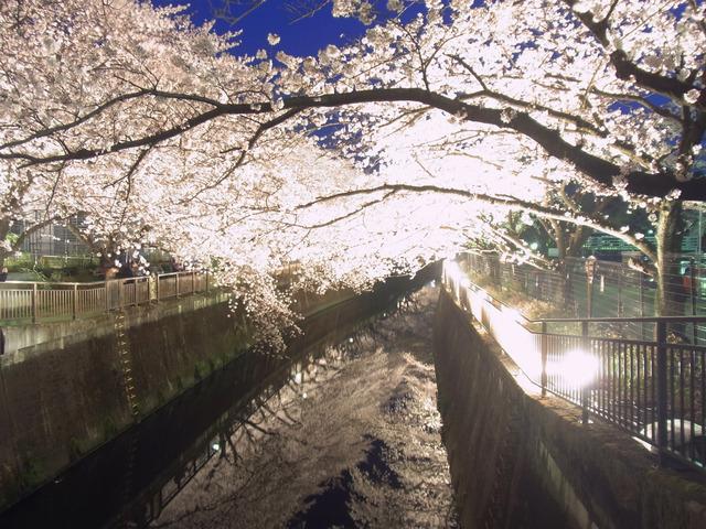 仙川の桜 (3)