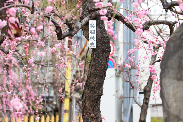 亀戸天神社 (11)