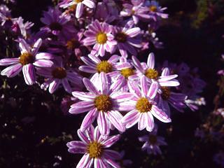 庭に咲いてた花003