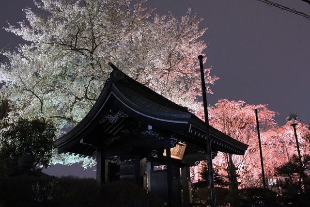 世田谷妙法寺の桜 (3)