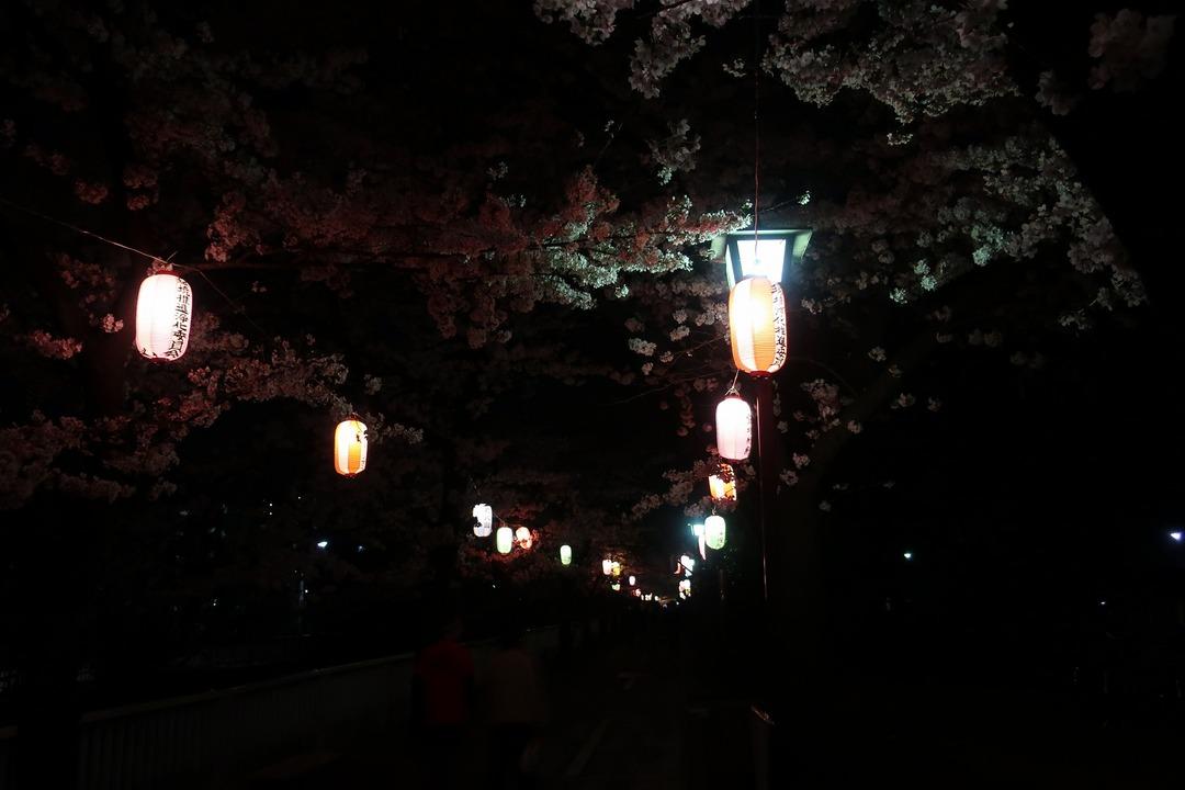 夜の桜 (7)