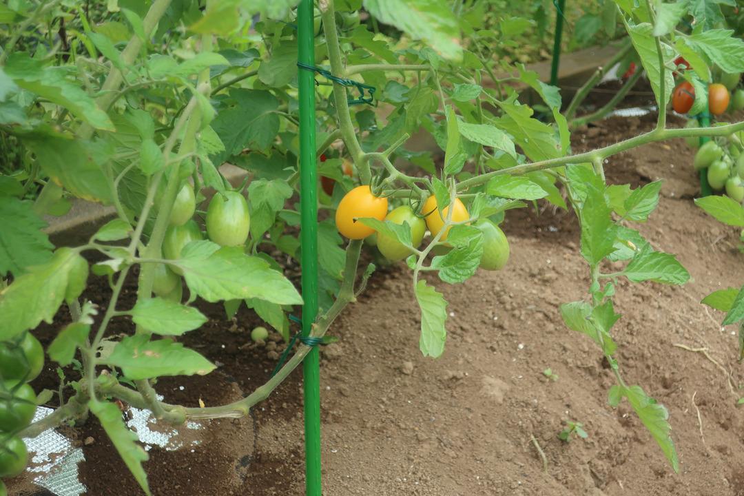 ミニトマトとキャベツ (4)