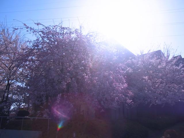 2012桜 (12)