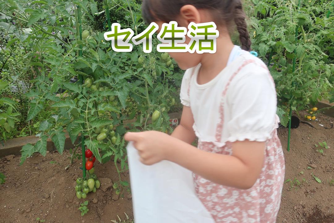 ミニトマトとキャベツ (12)