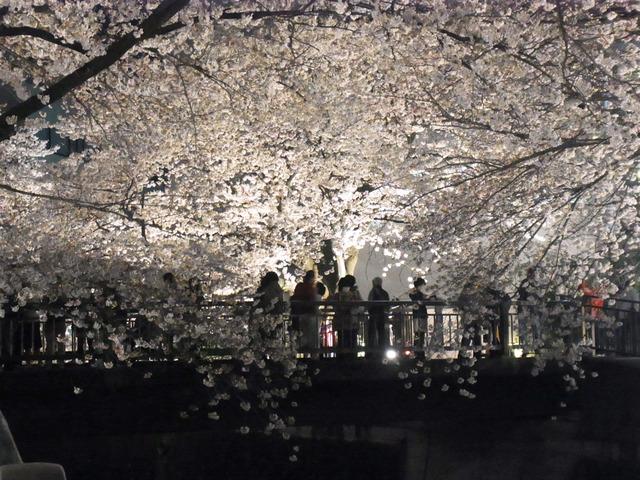 仙川の桜 (5)