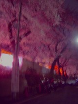 洗足池の桜とバイク