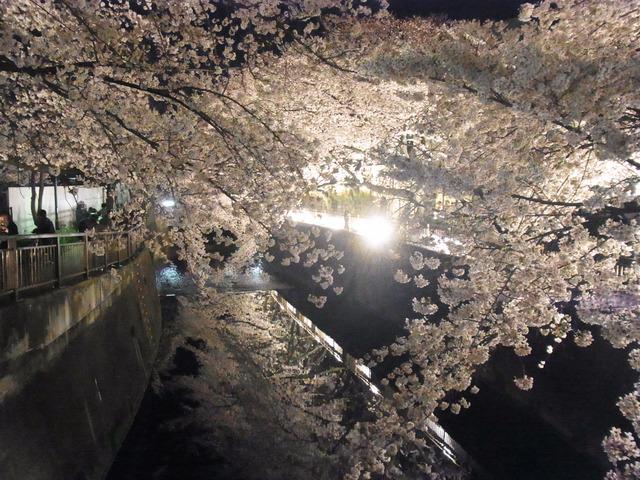 仙川の桜 (6)
