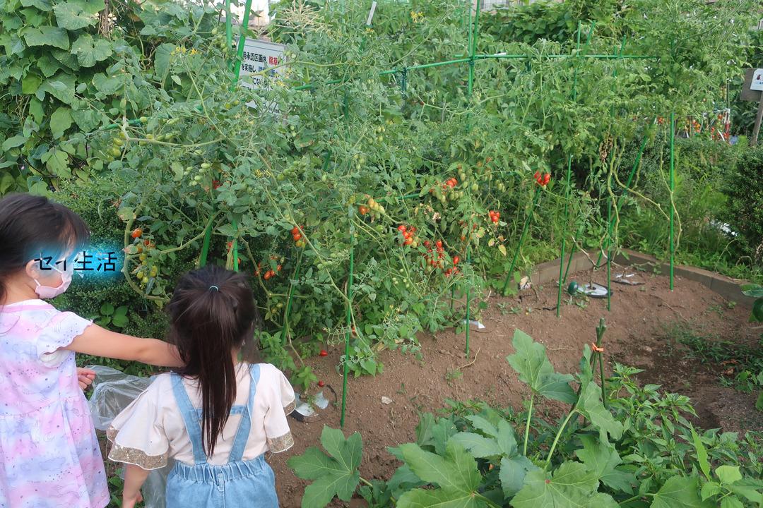 夏の野菜収穫 (1)