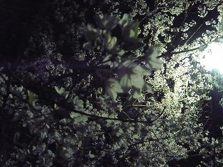 夜桜 (1)