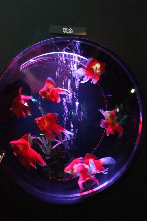 金魚 (12)