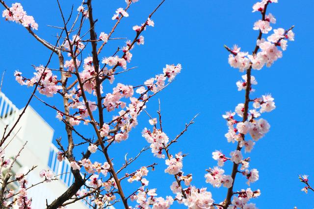 東京の桜 (1)
