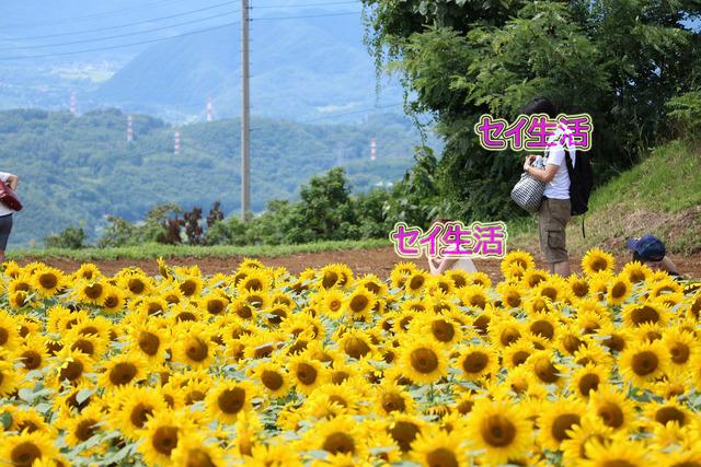 明野ひまわり畑 (13)