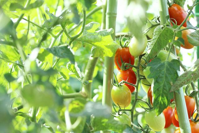 トマト (1)