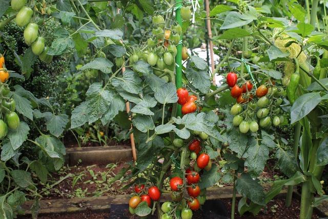 セイ農園収穫 (7)