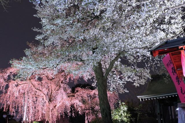 世田谷妙法寺の桜 (5)