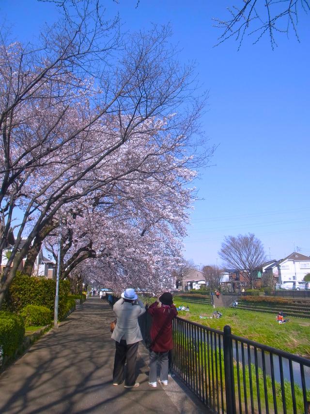 2012桜 (11)