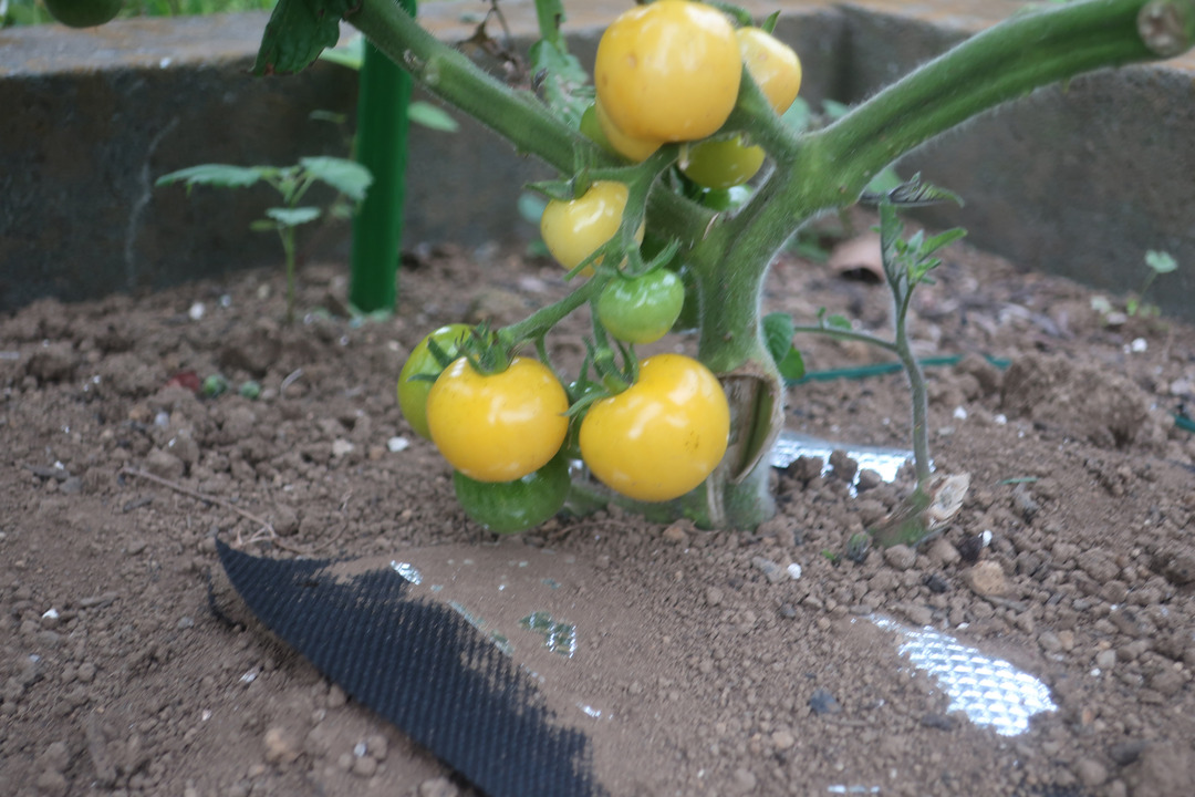 ミニトマトとキャベツ (14)