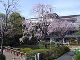 東郷神社桜