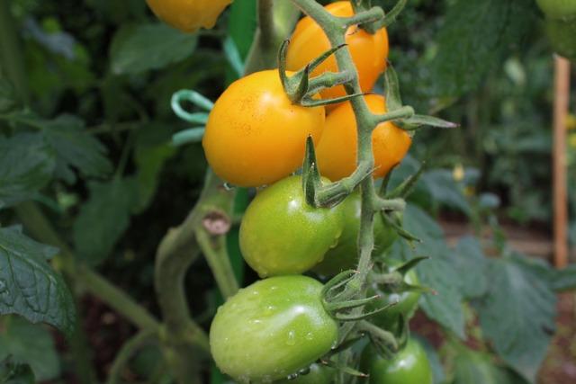セイ農園収穫 (4)