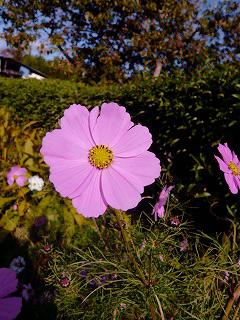 庭に咲いてた花009