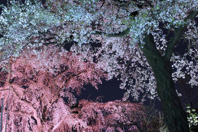 世田谷妙法寺の桜 (6)