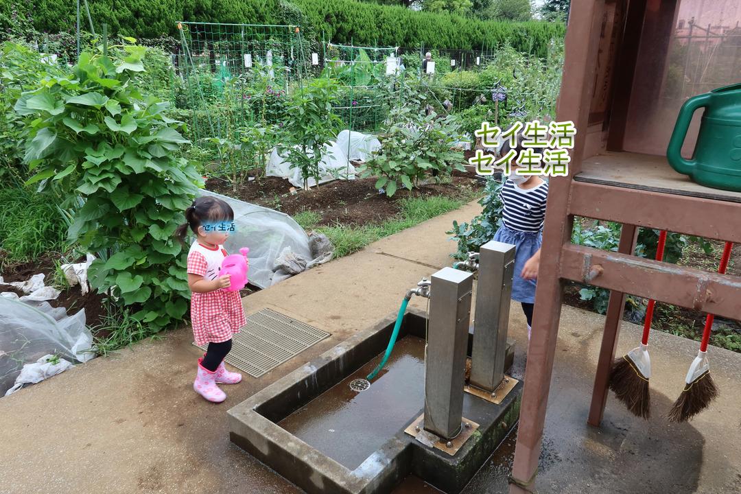 畑で採れた野菜 (1)