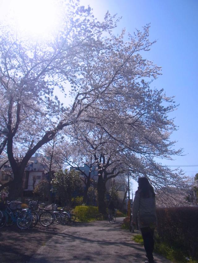 2012桜 (10)