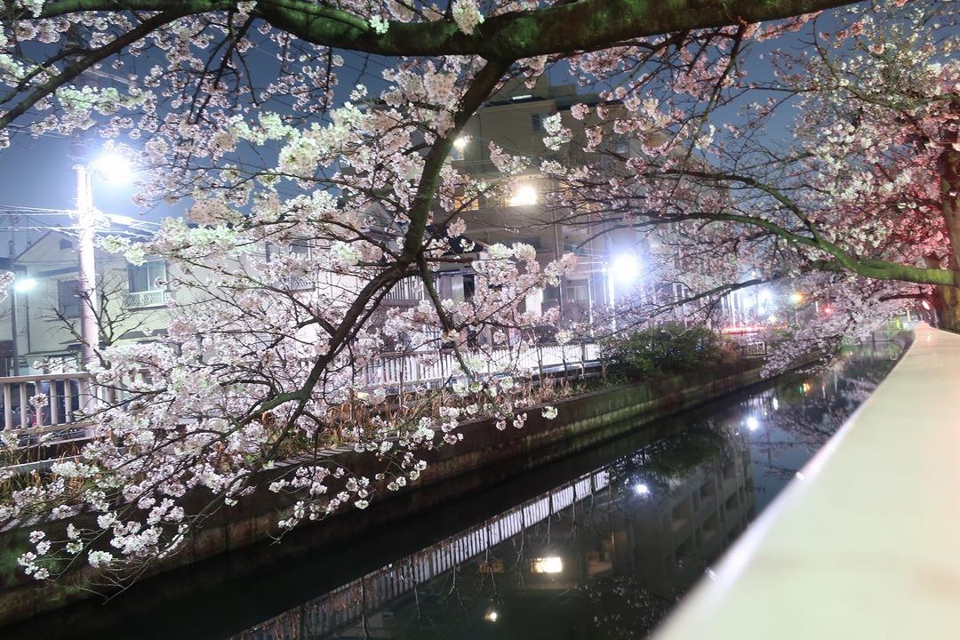 夜の桜 (2)