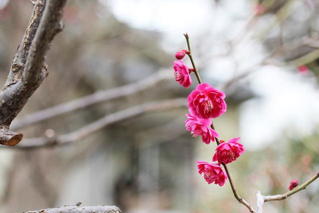 亀戸天神社 (25)