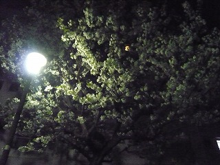 夜桜 (3)