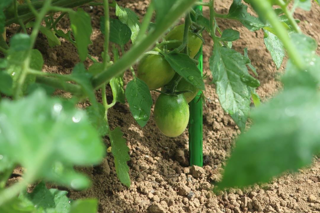小さな畑にミニトマト (2)