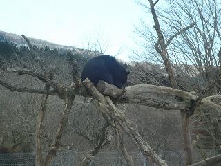 木に登る熊