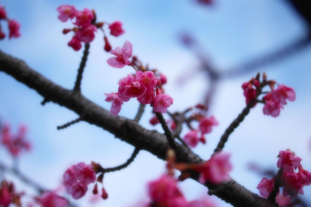 河津桜 (5)