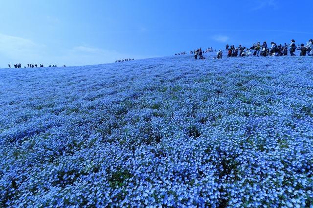 ネモフィラの丘 (2)