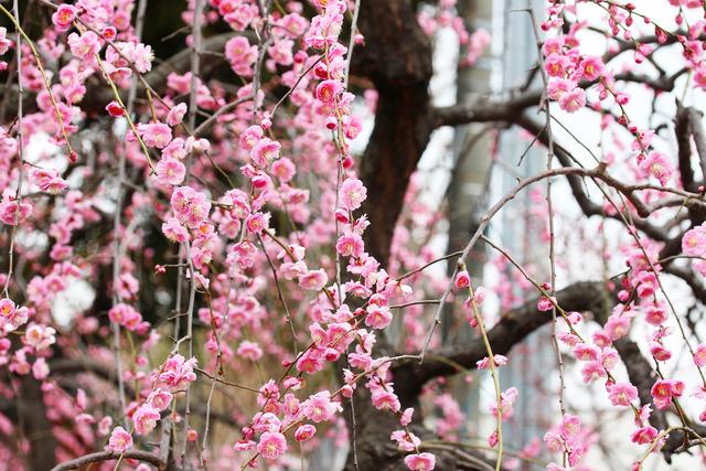 亀戸天神社 (12)