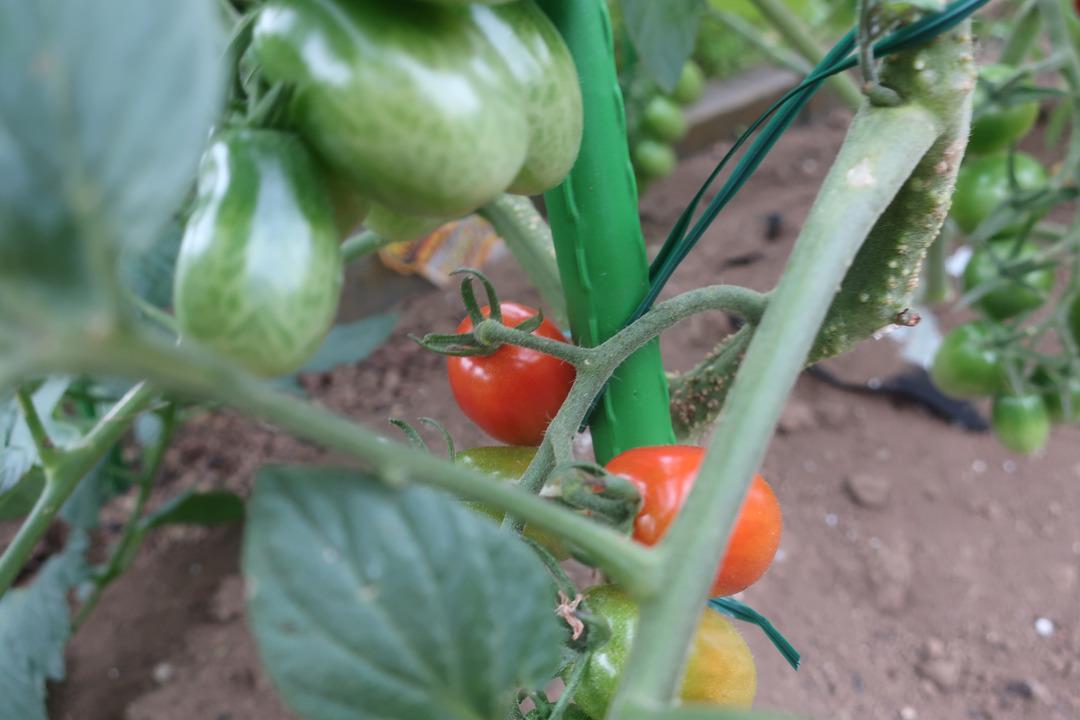 ミニトマトとキャベツ (9)